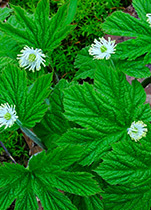 Piping Rock Echinacea Goldenseal Supplements